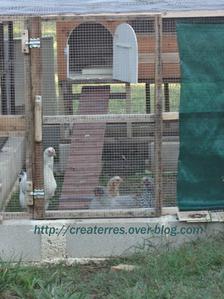 aout-poulettes-matinales.png
