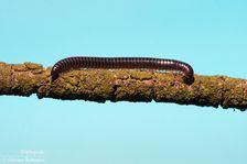 Diplopodes--Diplopoda--par-Olivier-Roberjot-01.jpg
