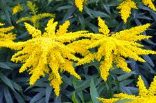goldenrod-flower-6