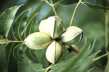 TEXAS Carya illinoinensis foliagenuts1