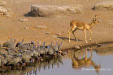 Namibie pintades photo denis-huot