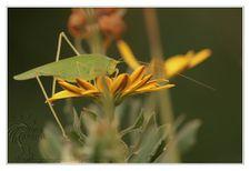 Insectes Sauterelle © Olivier Roberjot 02