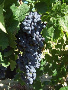 grappe-Merlot-2012.jpg