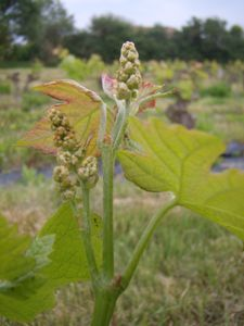 Rameau de Cabernet Franc avec 2 futures grappes