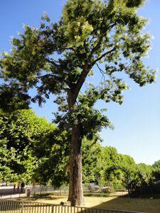 Sophora-jardin-des-plantes-Paris.JPG