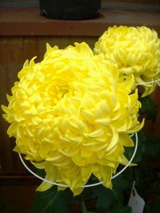 expo-de-chrysanthemes4.JPG