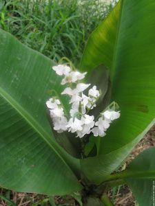 galerie-membre-autre-vegetation-muguet-des-tropiques.jpg