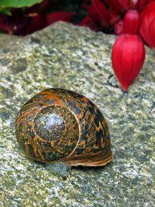 Gasteropode-escargot-jardin breton
