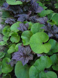 Feuillages-Heuchera-palace---petasites-fragrans.jpg