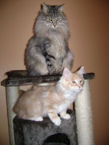 cannelle-et-maine-coon0001.JPG