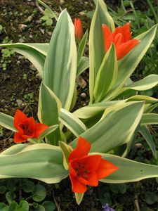 Tulipes bot. rouge 1