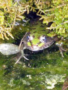 grenouille-a-l'eau3