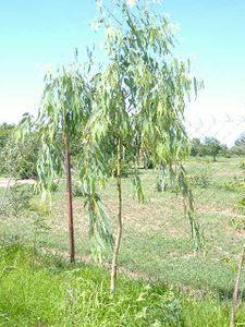 Le Reboisement Eucalyptus