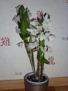 Orchidee Dendrobium Nobile Comment S En Occuper Le Blog De Chris