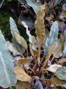 Mars 2002-Rapa-Perau-Elaphoglossum meyeri (JYM)