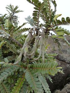 Réunion-17-18 décembre 2010-Maido-Sophora