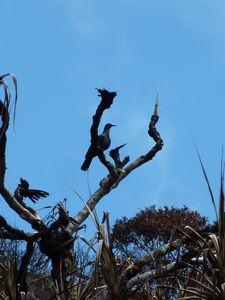 Nuku Hiva-10-12 avril 2012-Ducula galeata