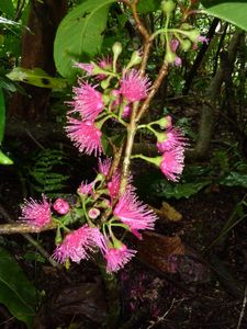 Maupiti-3-6 juillet 2012-Syzygium malaccense infl