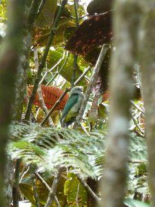 Tahiti-Col Hamuta-14 sept 2012-Ptilinopus purpuratus 1000 m