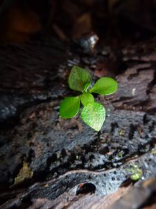 Tahiti-mont Mamanu-29 janv 2014-Psidium cattleianum plantul