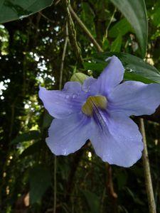 Tahiti février 2013 Thunbergia fleur