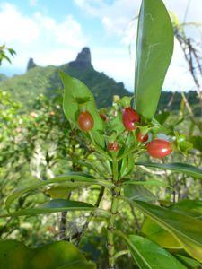 Moorea-Mouaputa-23 avril 2014-Psychotria sp fruit mûrs