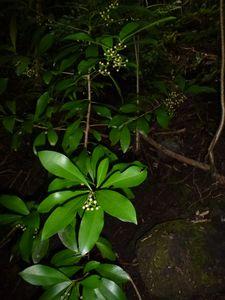 Tahiti-Belvédère-08 avril 2014-Ardisia elliptica