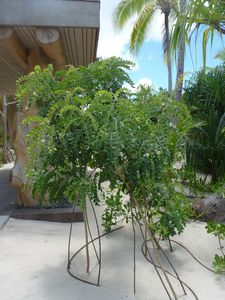 Tetiaroa-10 nov 2014-captive Sophora tomentosa (JYM)