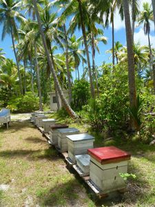 Tetiaroa-10 nov 2014-coconut honey bees (JYM)