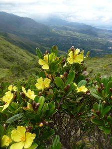 Nlle Calédonie-Mt Mou-23 nov 2014-fleurs jaunes