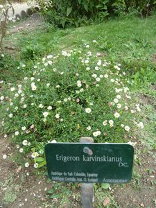 Paris-14-16 sept 2010-Erigeron
