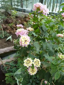 Paris-14-16 sept 2010-lantana