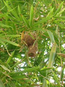 nid-bambous