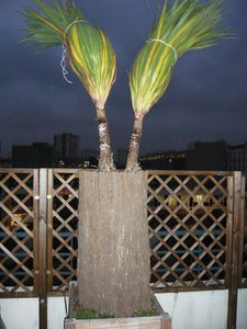 Cylindre de Brande de Bruyère pour protéger palmier