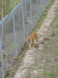 parc felins tigres1