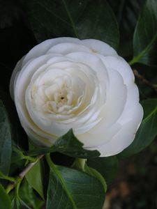 Camélia blanc (3)