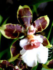 Clmanera jungle (2)