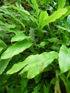 Cardamome plante - Photo DR - in Natures Paul Keirn
