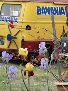 19 Iris banania