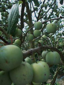 Les-prunes-reine-claude.jpg