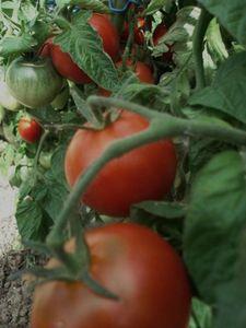 Les-tomates.jpg