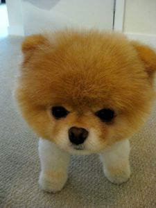 boo-fluffy-dog