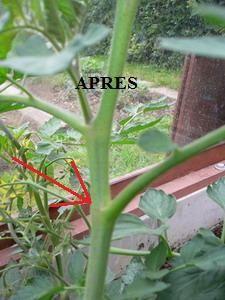 L 39 art de tailler les tomates les jardins du vallon brece - Tailler plant de tomate ...
