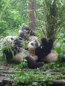 101-Chengdu Panda