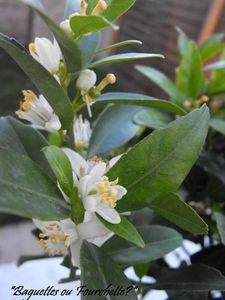 fleur mandarinier1