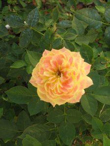 2010.08.11 Rose jaune1