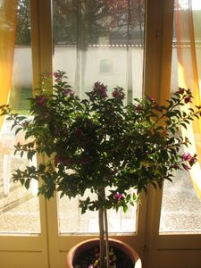 2011.10.30 Bougainvilliers