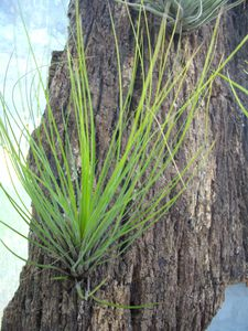 tillandsia-filifolia.JPG