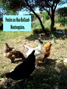Montesquieu-poules-heraultaises-copie-1.jpg
