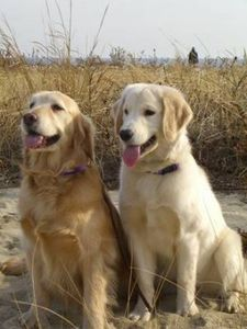 golden-retriever-270x360.jpg